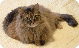 Domestic Longhair Cat for adoption in Orange, Virginia - Lucy