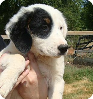 Pointer Mix Puppy for adoption in Beacon, New York - Joey