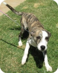 Black Mouth Cur/Pit Bull Terrier Mix Puppy for adoption in Stillwater, Oklahoma - Peppin