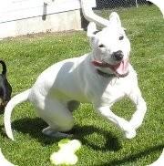 Terrier (Unknown Type, Medium)/Greyhound Mix Puppy for adoption in Silver Lake, Wisconsin - Monica