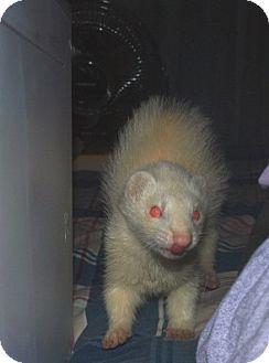 Ferret for adoption in Acworth, Georgia - Weasel