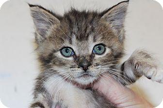 Domestic Shorthair Kitten for adoption in Santa Monica, California - Simeon