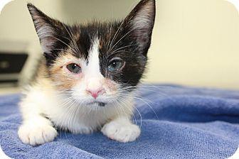 Domestic Shorthair Kitten for adoption in Franklin, Indiana - Marsha