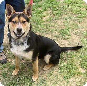 Australian Cattle Dog/Shiba Inu Mix Dog for adoption in Charleston, Arkansas - Valentino