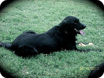 Labrador Retriever/Flat-Coated Retriever Mix Dog for adoption in Brattleboro, Vermont - Dixie