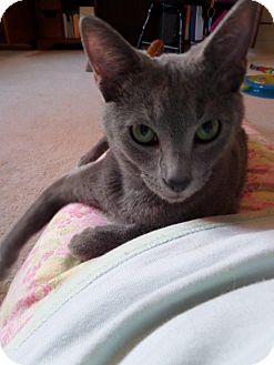 Domestic Shorthair Cat for adoption in Cincinnati, Ohio - Grayson