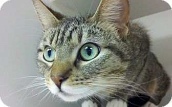 Domestic Shorthair Cat for adoption in Bellingham, Washington - Willow