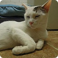 Domestic Shorthair Cat for adoption in New York, New York - Lady