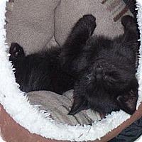 Adopt A Pet :: Lestat - Gray, TN