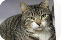 Domestic Shorthair Cat for adoption in Voorhees, New Jersey - Professor-PetSmart