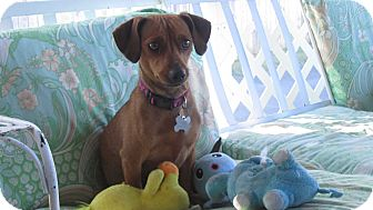 Dachshund Mix Dog for adoption in Richmond, Virginia - Ruby