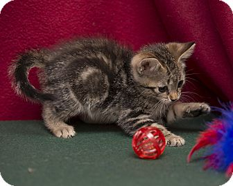 Domestic Shorthair Kitten for adoption in Fountain Hills, Arizona - Dusty
