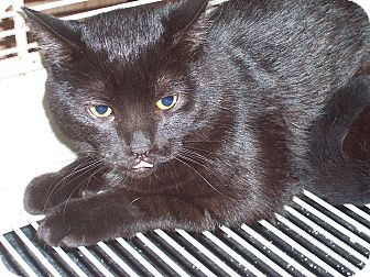 Domestic Shorthair Cat for adoption in Hartselle, Alabama - Shadow