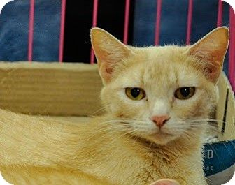 Domestic Shorthair Cat for adoption in Gainesville, Florida - Sugar