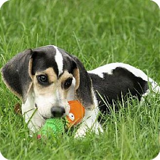Beagle Mix Puppy for adoption in Wetumpka, Alabama - #71559 'Zoe'