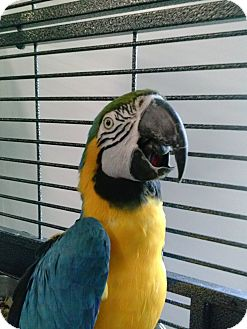 Macaw for adoption in Grandview, Missouri - Joe