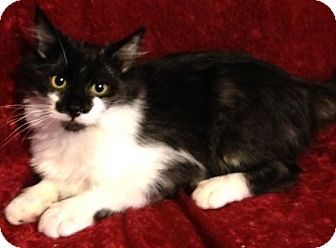 Domestic Shorthair Kitten for adoption in Hillside, Illinois - Smudge-6 MONTHS