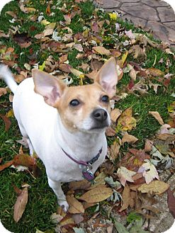 Chihuahua/Fox Terrier (Toy) Mix Dog for adoption in Beachwood, Ohio - Pippi _ Courtesy Listing