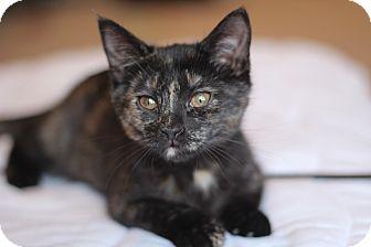 Domestic Shorthair Kitten for adoption in Richmond, Virginia - Button
