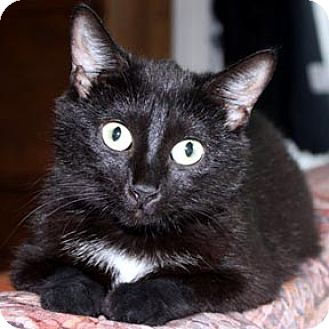 Domestic Shorthair Cat for adoption in Verdun, Quebec - Myrtille