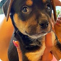 Adopt A Pet :: TAZ AND FRIENDS - Winnetka, CA
