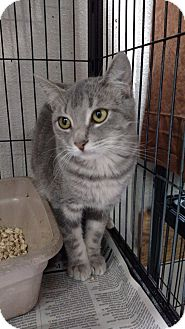 Domestic Shorthair Kitten for adoption in Yuba City, California - Dasher