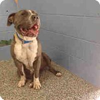 Pit Bull Terrier Mix Dog for adoption in San Bernardino, California - URGENT ON 5/30  San Bernardino