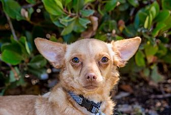 Chihuahua Dog for adoption in San Diego, California - Satchel