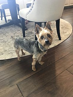 Silky Terrier Dog for adoption in Colleyville, Texas - Brady