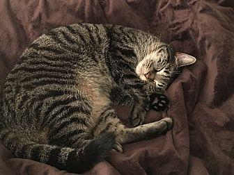 Domestic Shorthair Cat for adoption in Spring, Texas - Sophie & Bridget