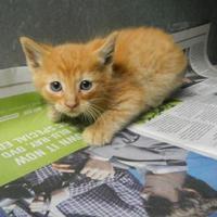 Domestic Shorthair/Domestic Shorthair Mix Cat for adoption in Pasco, Washington - Tom