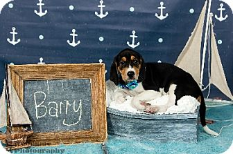 Coonhound Mix Puppy for adoption in Duart, Ontario - Barry