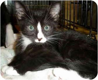 Domestic Shorthair Kitten for adoption in Yorba Linda, California - Starr
