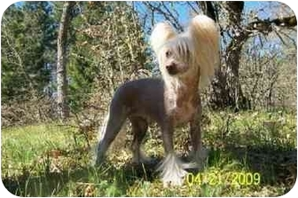 Chinese Crested Dog for adoption in Salem, Oregon - Crissy