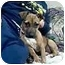 Photo 1 - Dachshund/Jack Russell Terrier Mix Puppy for adoption in New Carlisle, Indiana - CoCo