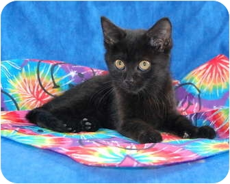 Bombay Kitten for adoption in Taylor Mill, Kentucky - Lucinda-$125 DECLAWED Kitten