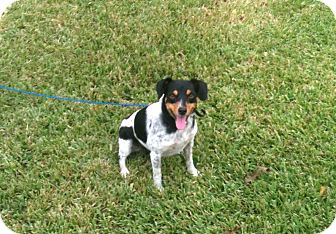 Rat Terrier/Terrier (Unknown Type, Small) Mix Dog for adoption in Baton Rouge, Louisiana - Lucky