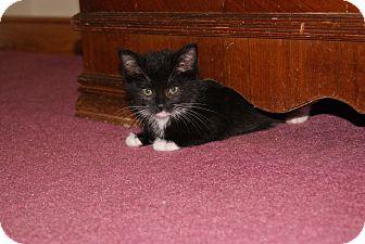 Domestic Shorthair Kitten for adoption in Trevose, Pennsylvania - Milkshake