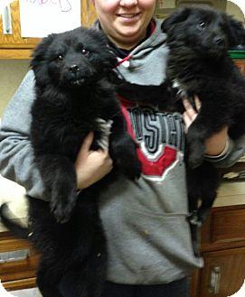 Chow Chow/Labrador Retriever Mix Puppy for adoption in Salem, Ohio - Sage