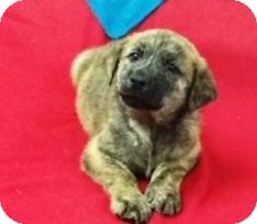 German Shepherd Dog/Labrador Retriever Mix Puppy for adoption in Bartonsville, Pennsylvania - Colton