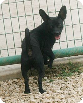 Chihuahua/Terrier (Unknown Type, Medium) Mix Dog for adoption in Pilot Point, Texas - HANK