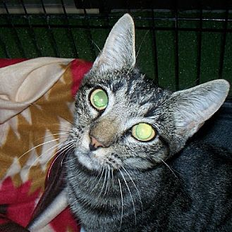 Domestic Shorthair Cat for adoption in Sidney, Maine - Camille