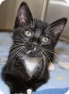 Domestic Shorthair Kitten for adoption in North Highlands, California - Cirrus