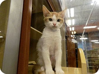 Domestic Shorthair Kitten for adoption in The Colony, Texas - Marty