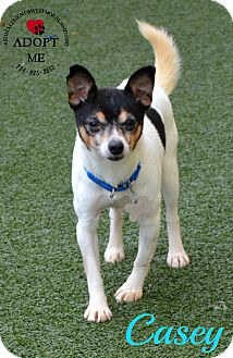 Jack Russell Terrier Mix Dog for adoption in Youngwood, Pennsylvania - Casey