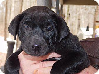 Labrador Retriever/Shar Pei Mix Puppy for adoption in Glastonbury, Connecticut - Peaches