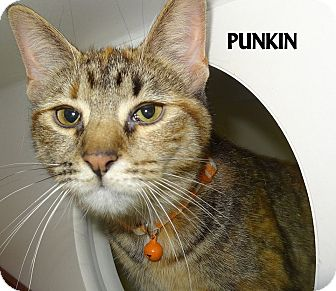 Domestic Shorthair Cat for adoption in Lapeer, Michigan - PUNKIN--SWEET GAL!