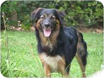Australian Shepherd Dog for adoption in Orlando, Florida - Cameo