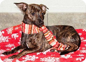 Chihuahua Dog for adoption in Ada, Oklahoma - BUFFY