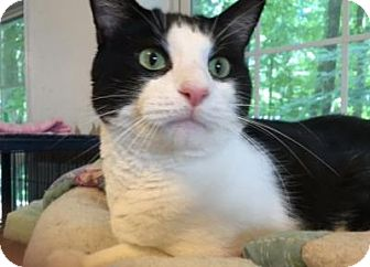 Domestic Shorthair Cat for adoption in East Stroudsburg, Pennsylvania - Sid